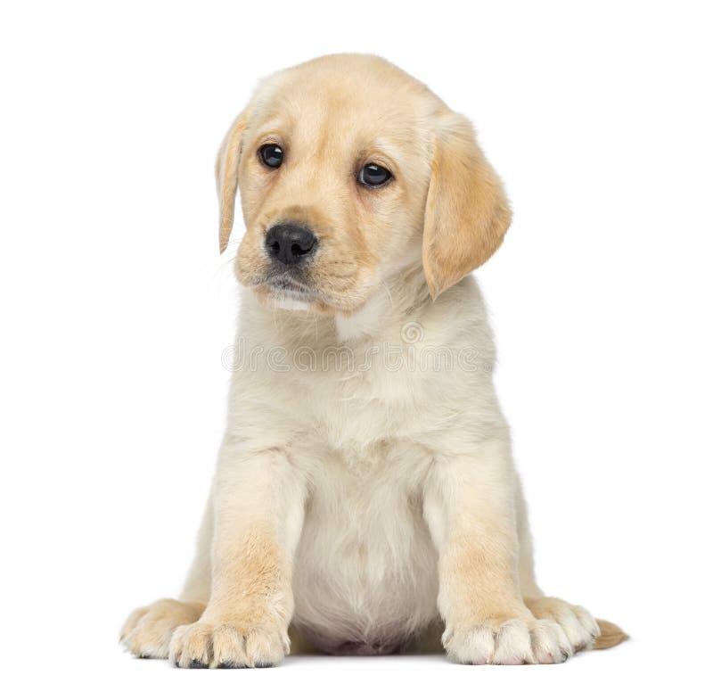 Усаживание щенка Лабрадора стоковое изображение