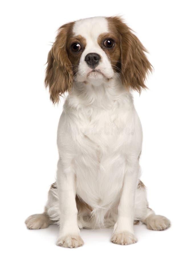 усаживание 6 кавалерийских месяцев короля собаки charles старое стоковые фото