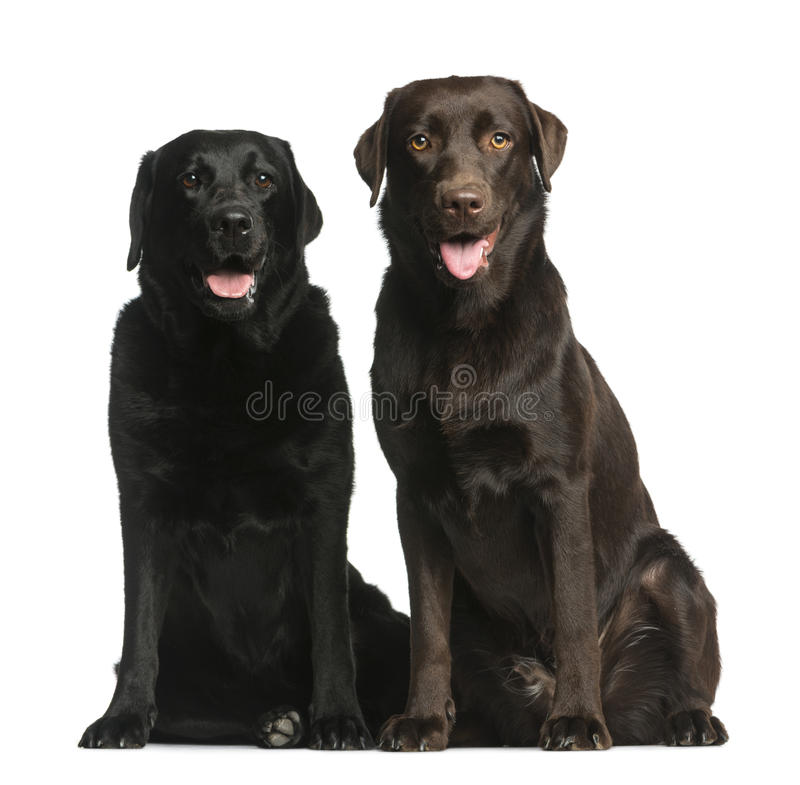 Усаживание 2 Labradors стоковое фото