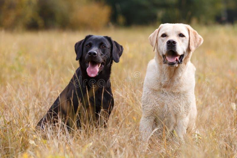 Усаживание 2 Labradors стоковые фото
