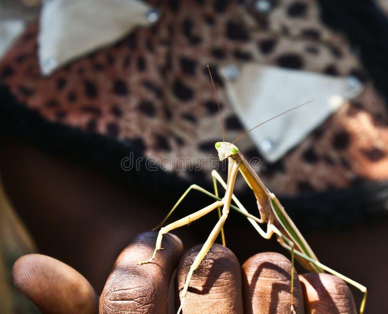 Усаживание Mantis близкое под рукой Зулуса стоковое фото rf