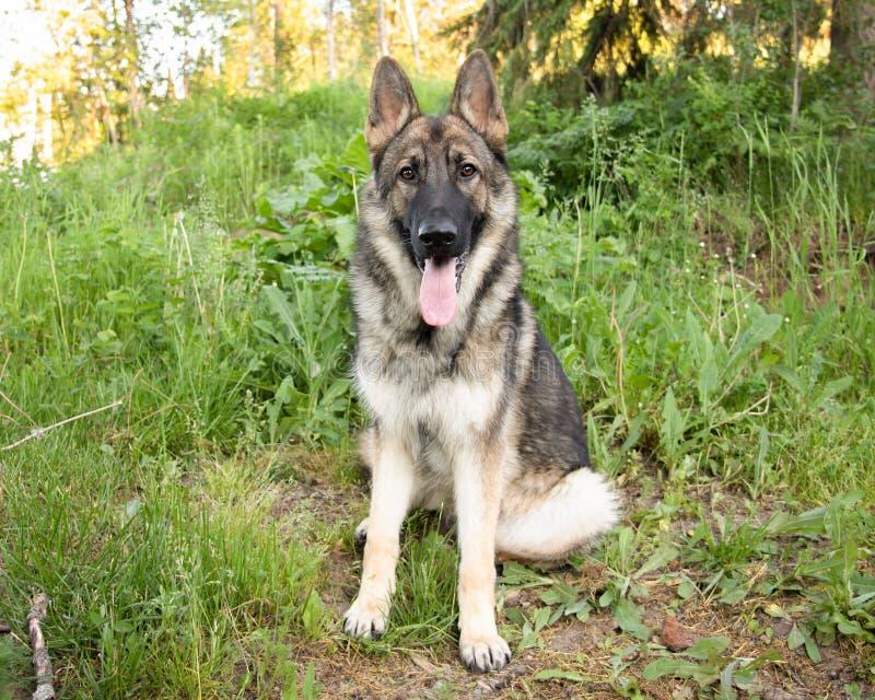 Усаживание Outdoors портрета собаки немецкой овчарки соболя стоковое фото