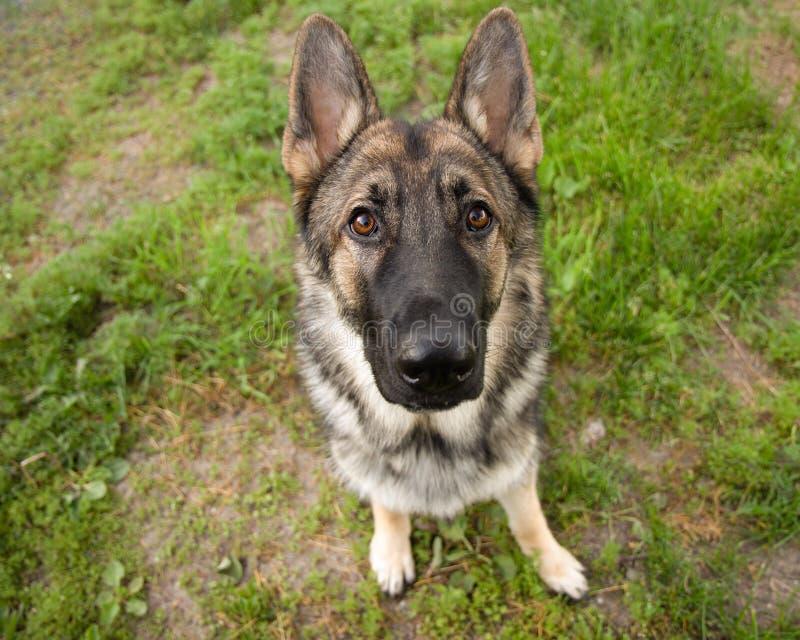 Усаживание Outdoors портрета собаки немецкой овчарки соболя стоковые фото