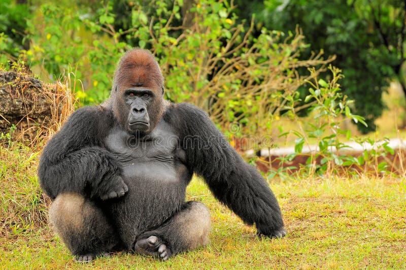 усаживание silverback низменности гориллы стоковые фото