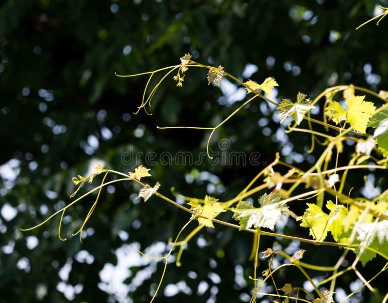 Усик виноградин с зелеными листьями стоковое изображение rf