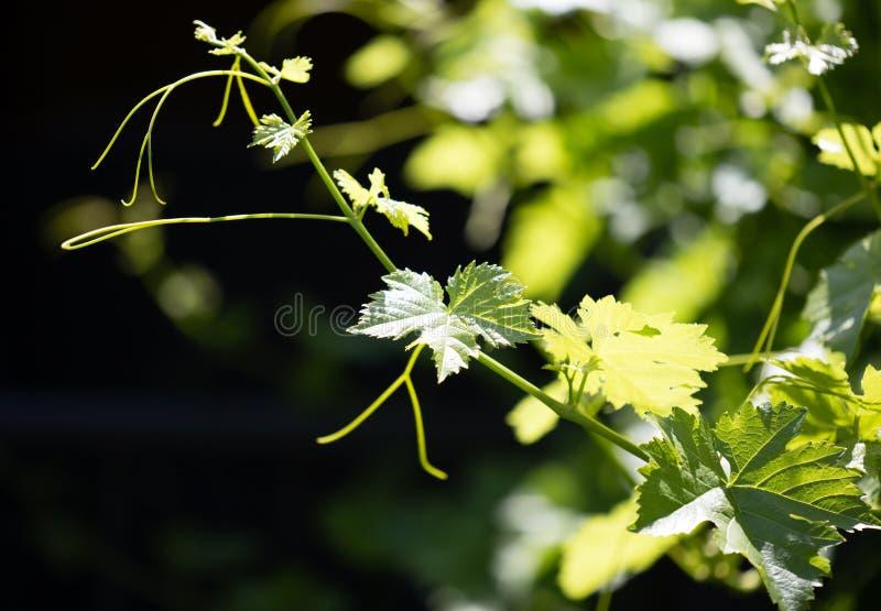 Усик виноградин с зелеными листьями стоковые фотографии rf
