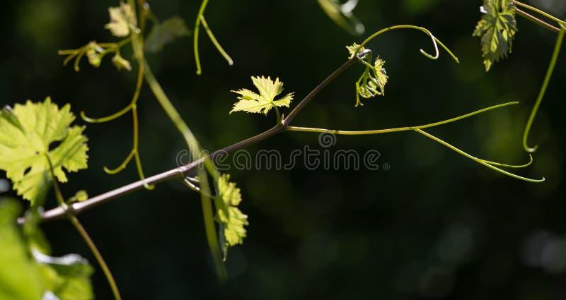 Усик виноградин с зелеными листьями стоковое фото