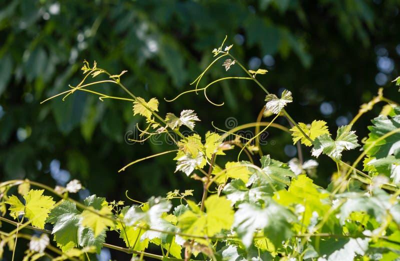Усик виноградин с зелеными листьями стоковая фотография
