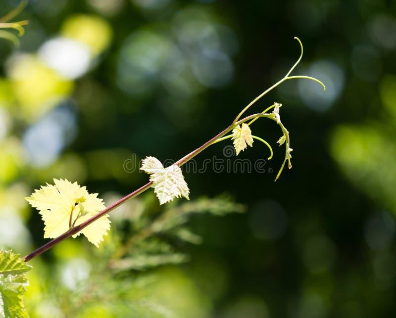 Усик виноградин с зелеными листьями стоковые фото