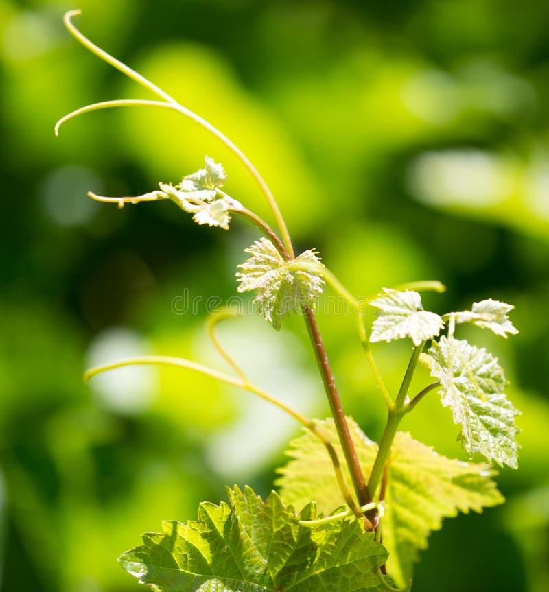Усик виноградин с зелеными листьями стоковые изображения rf