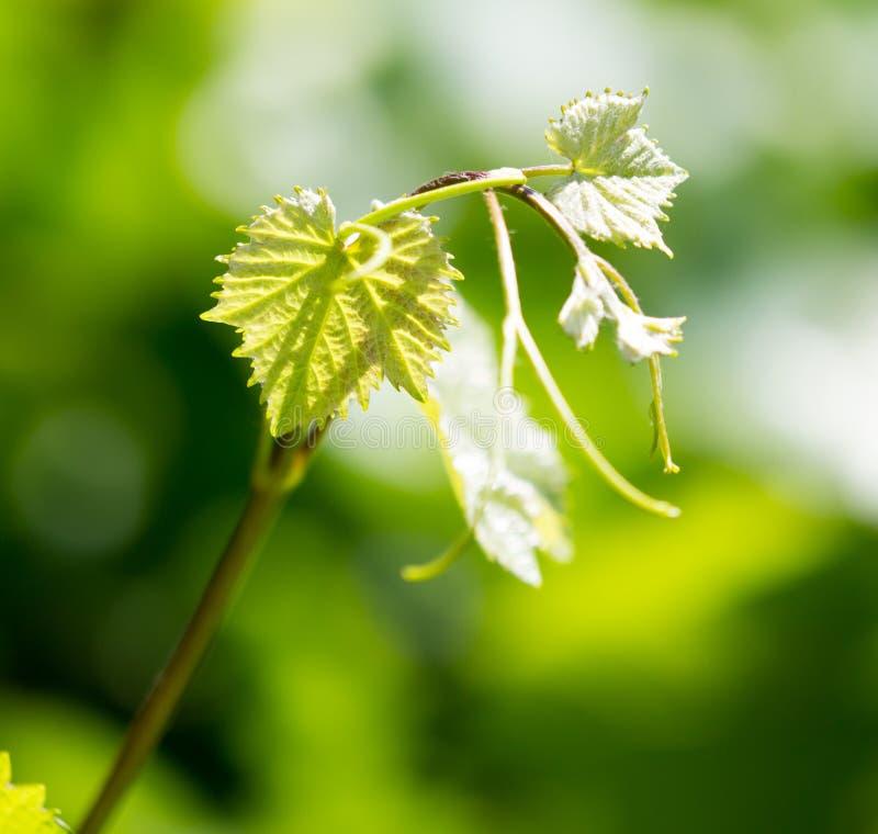 Усик виноградин с зелеными листьями стоковое фото rf