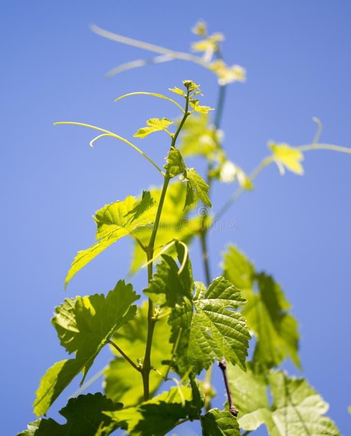 Усик против виноградин против голубого неба стоковое изображение
