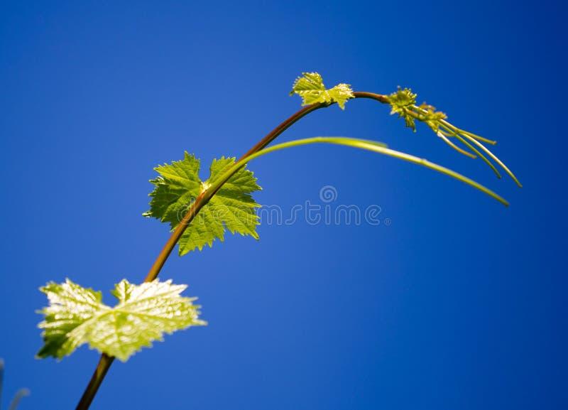 Усик против виноградин против голубого неба стоковые фото
