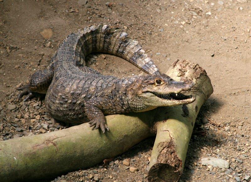 усмехаться croc стоковые фотографии rf