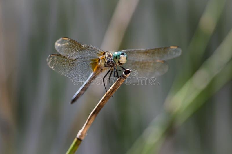 Усмехаясь голубой Dragonfly Dasher сидя на тростнике стоковое фото rf