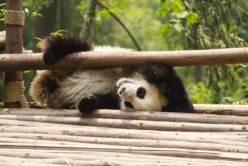 Усмехаясь играть панды: На моей голове стоковое изображение rf