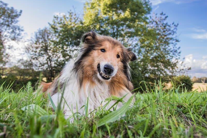 Усмехаясь собака, Коллиа смешного золота грубая стоковое фото