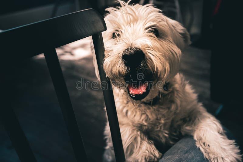 Усмехаясь счастливое старое Westie стоит на ем назад ноги с ним лапка на ем нога владельцев стоковое изображение