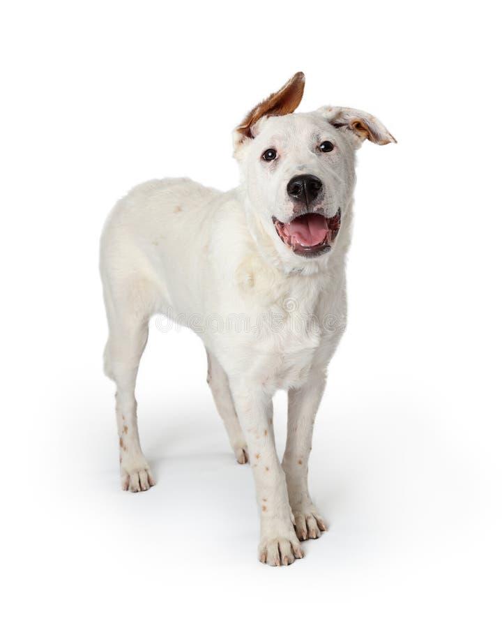 Усмехаясь уши белой собаки неповоротливые стоковое фото