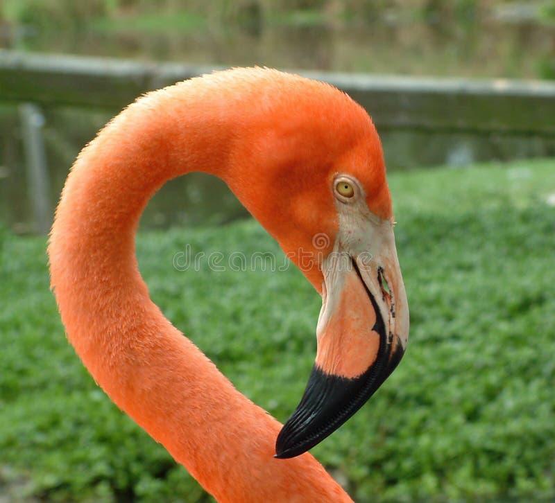 Усмехаясь фламинго стоковая фотография rf