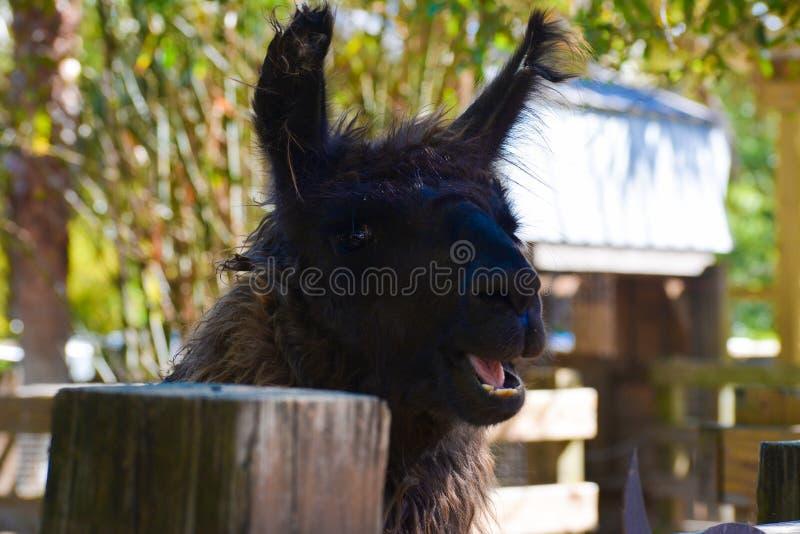 Усмехаясь черная лама в ферме стоковое изображение