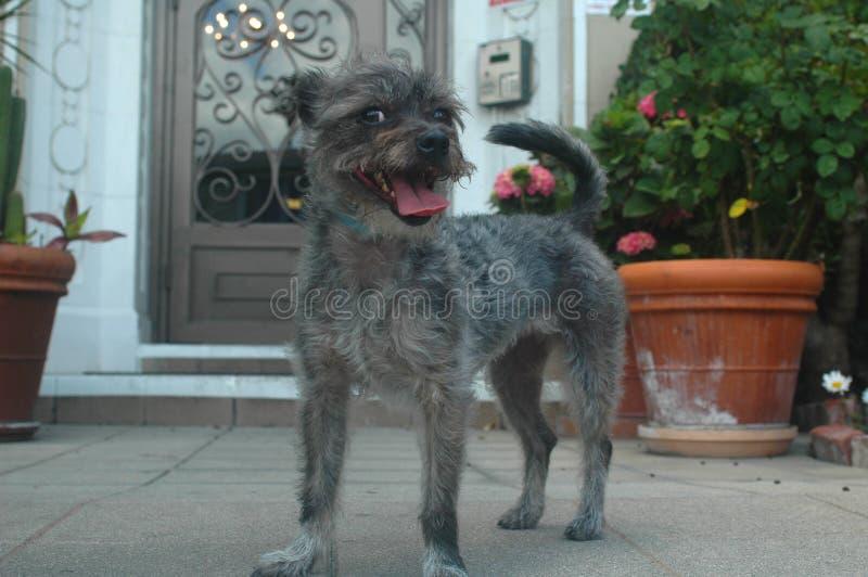 Усмехаясь щенок породы смешивания терьера Schnazer провода серого цвета с волосами стоковое изображение rf