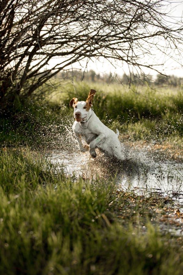 усмехаясь standingin гончей собаки выхода пластов на траве в воде Зеленая предпосылка стоковое фото