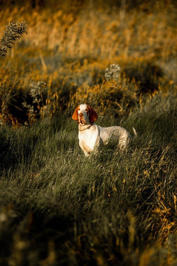 усмехаясь standingin гончей собаки выхода пластов на траве в заходе солнца Зеленая предпосылка стоковое изображение