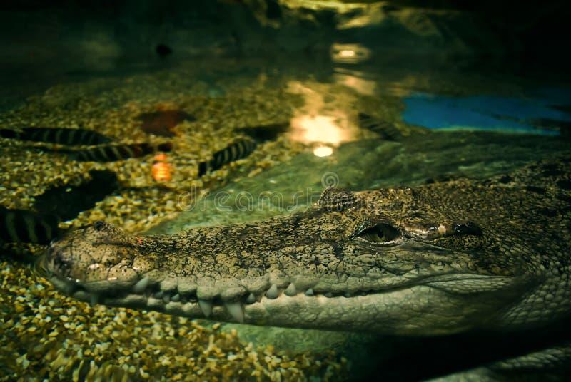 усмешка крокодила стоковое изображение rf