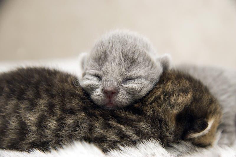 уснувший великобританский кот newborn стоковая фотография