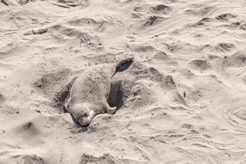 Уставшие ослабляя уплотнения на пляже стоковые фото