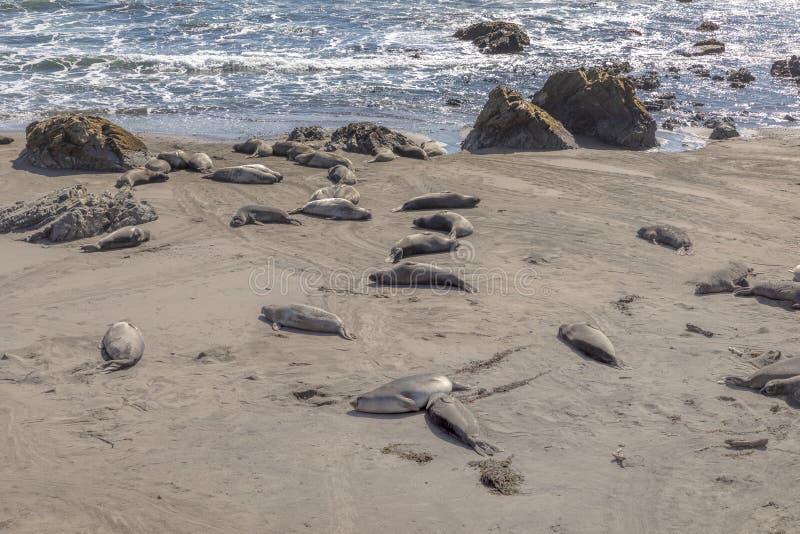 Уставшие ослабляя уплотнения на пляже стоковое изображение rf