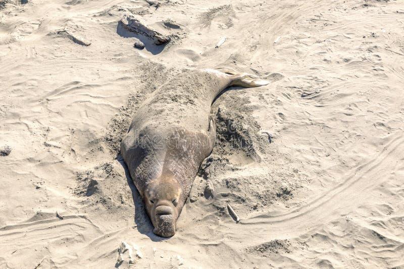 Уставшие ослабляя уплотнения на пляже стоковое фото rf