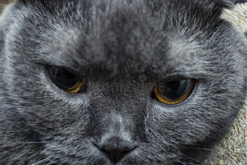 уставший намордник конца-вверх кота, великобританская порода Выборочный фокус, нерезкость стоковые изображения