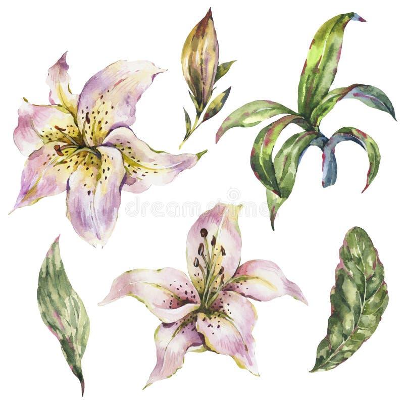 Установите белой лилии, собрания цветков лилий акварели королевского, винтажных элементов флористического дизайна бесплатная иллюстрация