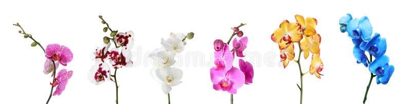 Установите красивых красочных цветков фаленопсиса орхидеи на белизне стоковое фото