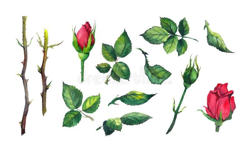 Установите листьев, бутонов, стержней цветка красной розы Иллюстрация акварели ботаническая иллюстрация вектора
