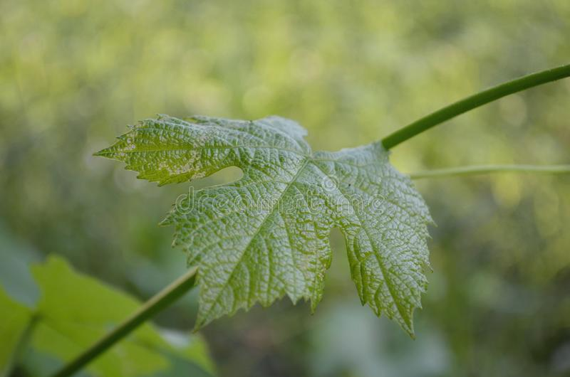 Установите листьев виноградины стоковые фото