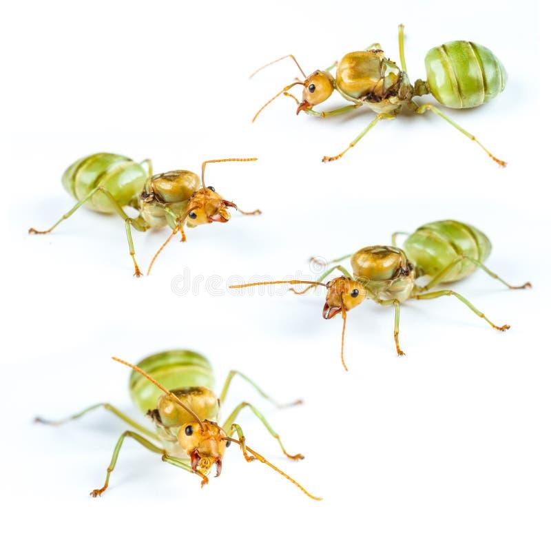 Установите муравья ферзя красного изолированный стоковые изображения rf