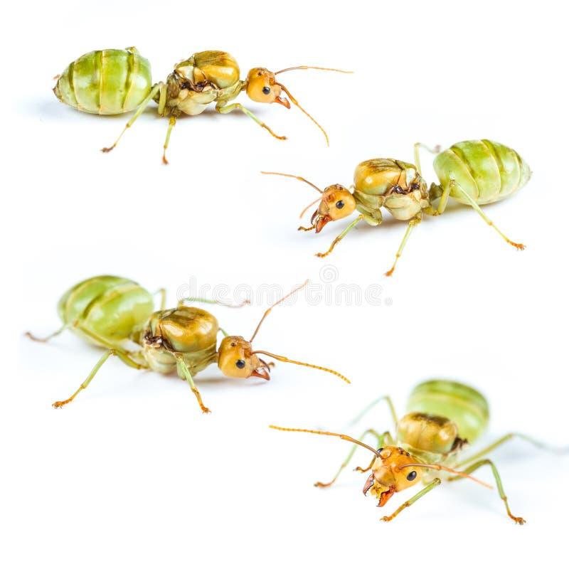 Установите муравья ферзя красного изолированный стоковые изображения