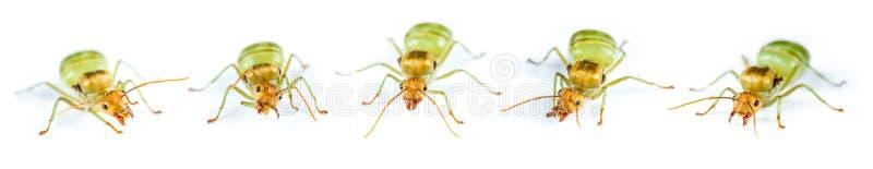 Установите муравья ферзя красного изолированный стоковое изображение rf