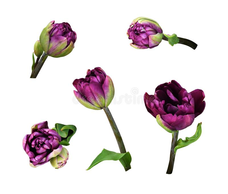 Установите пурпурных цветков тюльпана пиона стоковые изображения rf