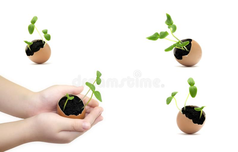 Установите растя ростков в раковине яйца в руках ребенка семя прорастания Рука ребенка держа росток в яйце с почвой изолированной стоковая фотография