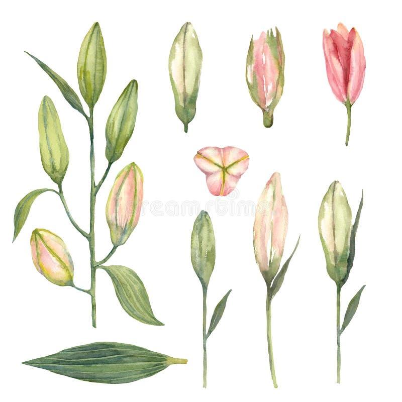 Установите розовых бутонов лилии Stargazer на белой предпосылке watercolo иллюстрация штока