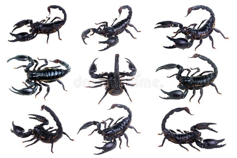 Установите скорпионов изолированных на белизне Скорпион императора, imperator Pandinus, изолят на белой предпосылке, стоковая фотография