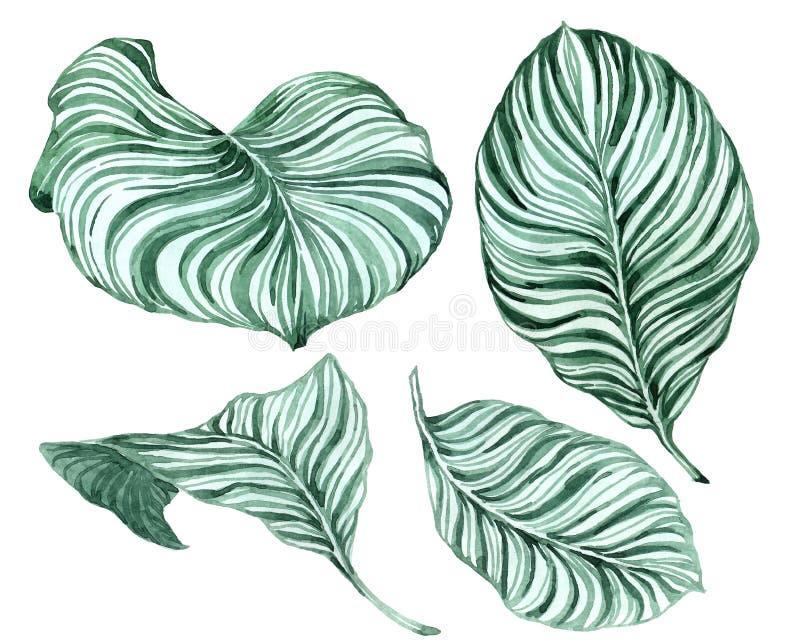 Установите тропических листьев Акварель руки вычерченная установила листьев антуриума зеленых и домашнего завода, изолированный бесплатная иллюстрация