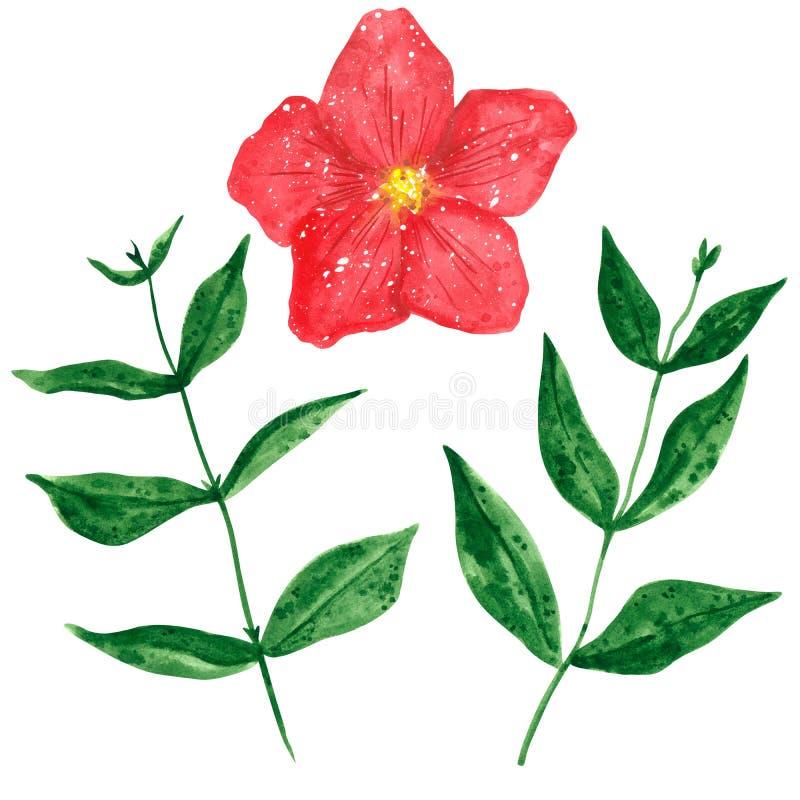 Установите цветка и ветвей Clematis с зелеными листьями, ей иллюстрация вектора