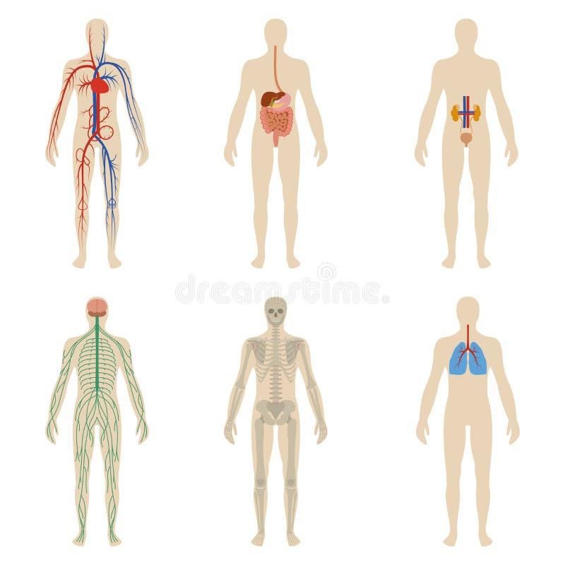 Установите человеческие органы и системы витальности тела иллюстрация вектора