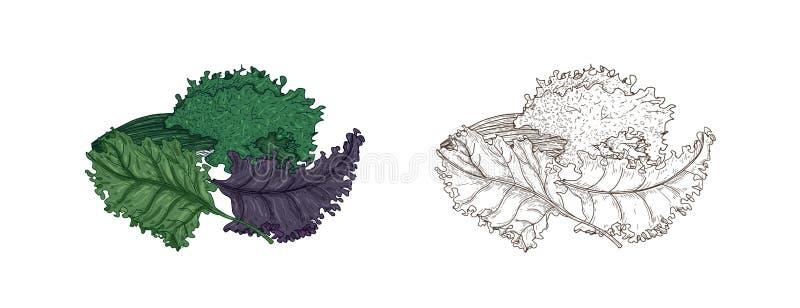 Установите элегантных красочных и monochrome чертежей капусты листовой капусты или лист Свежий органический сырцовый овощ или кул иллюстрация штока