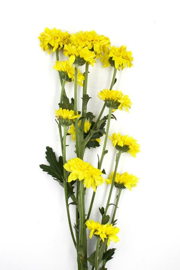 Установите ярких желтых хризантем изолированных на белом bachground Некоторый цветок со съемкой бутона на различных углах, включа стоковое изображение